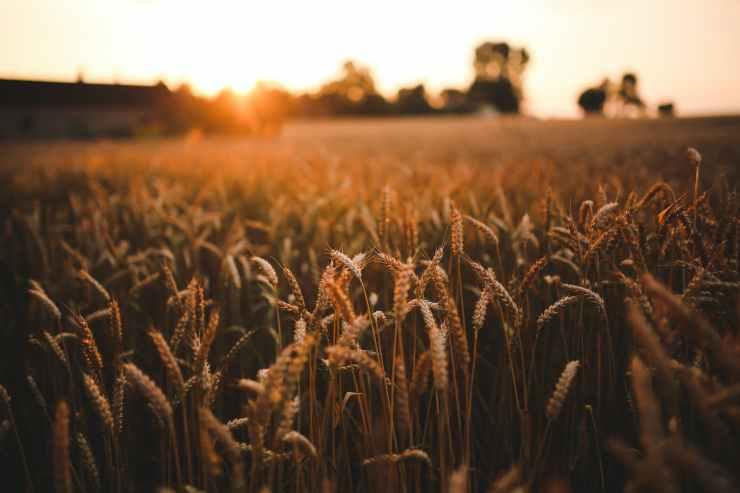 Parcelle de blé   Mon Levain